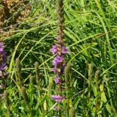 Lythrum salicaria (Purple Loosestrife) at Bombala, NSW - 9 Jan 2021 by tpreston