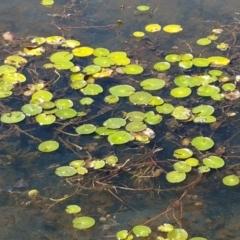 Nymphoides sp. (A Marshwort) at Bombala, NSW - 9 Jan 2021 by tpreston