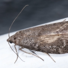Heteromicta pachytera (Pyralid moth) at Melba, ACT - 23 Dec 2020 by kasiaaus