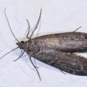 Heteromicta pachytera at Melba, ACT - 23 Dec 2020