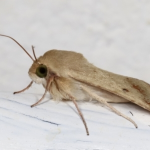 Helicoverpa (genus) at Melba, ACT - 27 Dec 2020