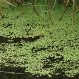 Lemna disperma at Jerrabomberra Wetlands - 8 Jan 2021