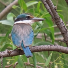 Todiramphus sanctus (Sacred Kingfisher) at Jerrabomberra Wetlands - 8 Jan 2021 by RodDeb