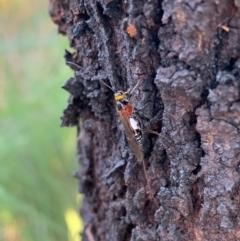 Braconidae sp. (family) (Unidentified braconid wasp) at Murrumbateman, NSW - 9 Jan 2021 by SimoneC