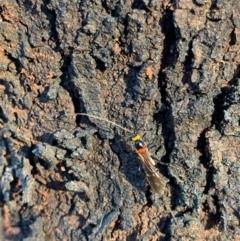 Braconidae sp. (family) at Murrumbateman, NSW - 9 Jan 2021