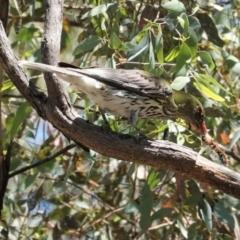 Oriolus sagittatus (Olive-backed Oriole) at Deakin, ACT - 9 Jan 2021 by JackyF