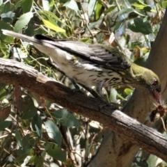 Oriolus sagittatus at Red Hill Nature Reserve - 9 Jan 2021