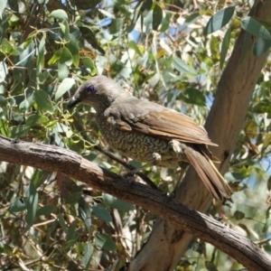 Ptilonorhynchus violaceus at Red Hill Nature Reserve - 9 Jan 2021