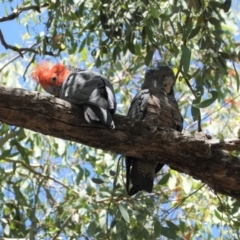 Callocephalon fimbriatum (Gang-gang Cockatoo) at Red Hill Nature Reserve - 9 Jan 2021 by JackyF