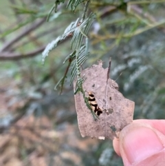 Macrobathra desmotoma ( A Cosmet moth) at Murrumbateman, NSW - 9 Jan 2021 by SimoneC