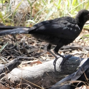 Corcorax melanorhamphos at Red Hill Nature Reserve - 9 Jan 2021