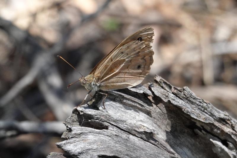 Heteronympha merope at Red Hill Nature Reserve - 9 Jan 2021