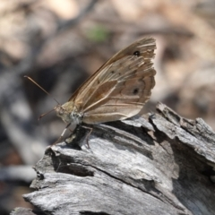 Heteronympha merope (Common Brown) at Red Hill Nature Reserve - 9 Jan 2021 by JackyF