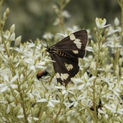 Nyctemera amicus (Senecio or Magpie moth) at Red Hill Nature Reserve - 7 Jan 2021 by JackyF