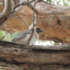 Philemon corniculatus (Noisy Friarbird) at Red Hill Nature Reserve - 7 Jan 2021 by JackyF