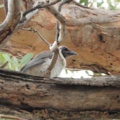 Philemon corniculatus (Noisy Friarbird) at Deakin, ACT - 7 Jan 2021 by JackyF
