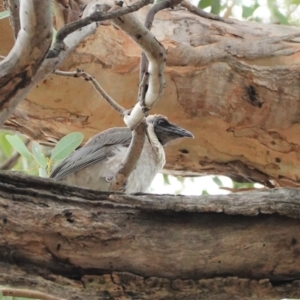 Philemon corniculatus at Red Hill Nature Reserve - 7 Jan 2021
