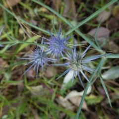 Eryngium ovinum (Blue Devil) at Red Hill Nature Reserve - 7 Jan 2021 by JackyF