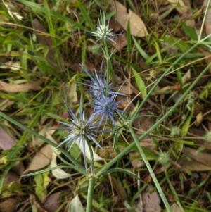 Eryngium ovinum at Red Hill Nature Reserve - 7 Jan 2021