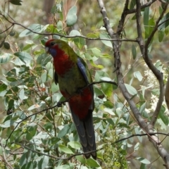 Platycercus elegans (Crimson Rosella) at Red Hill Nature Reserve - 8 Jan 2021 by JackyF