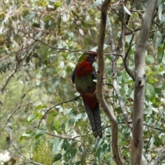 Platycercus elegans at Red Hill Nature Reserve - 8 Jan 2021