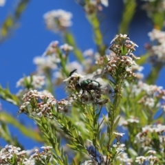 Rutilia sp. (genus) (A Rutilia bristle fly, subgenus unknown) at Cook, ACT - 8 Jan 2021 by Tammy