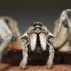 Tasmanicosa sp. (genus) (Unidentified Tasmanicosa wolf spider) at Evatt, ACT - 9 Jan 2021 by TimL