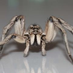 Tasmanicosa sp. (genus) at Evatt, ACT - 9 Jan 2021