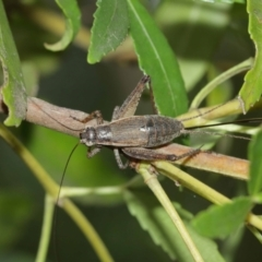 Eurepa marginipennis (Mottled bush cricket) at ANBG - 8 Jan 2021 by TimL