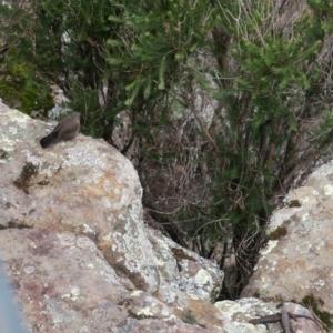 Origma solitaria (Rockwarbler) at Morton National Park by Gee