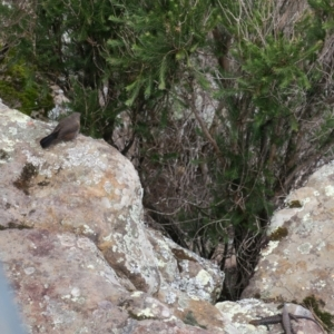Origma solitaria at Morton National Park - 9 Jan 2021