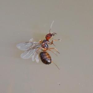 Formicidae sp. (family) at Dryandra St Woodland - 9 Jan 2021
