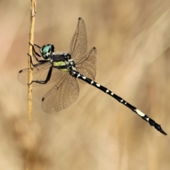 Parasynthemis regina (Royal Tigertail) at Wodonga - 9 Jan 2021 by Kyliegw
