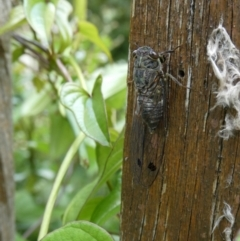 Galanga labeculata (Double-spotted cicada) at Curtin, ACT - 7 Jan 2021 by arjay