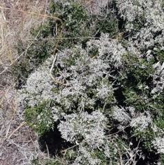 Melicytus angustifolius subsp. divaricatus (Divaricate Tree Violet) at Kuma Nature Reserve - 10 Jan 2021 by tpreston