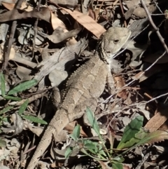 Amphibolurus muricatus (Jacky Dragon) at Aranda Bushland - 8 Jan 2021 by CathB