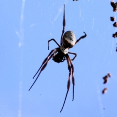 Nephila edulis (Golden Orb Weaver) at WREN Reserves - 9 Jan 2021 by Kyliegw