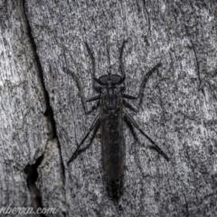 Cerdistus exilis (Robber Fly) at Denman Prospect, ACT - 1 Jan 2021 by BIrdsinCanberra