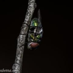 Rutilia (Chrysorutilia) sp. (genus & subgenus) (A Bristle Fly) at Piney Ridge - 1 Jan 2021 by BIrdsinCanberra