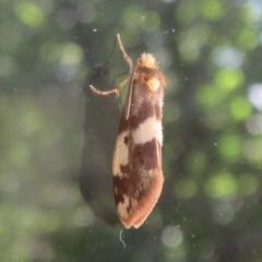 Anestia (genus) (A tiger moth) at Flynn, ACT - 10 Jan 2021 by Christine