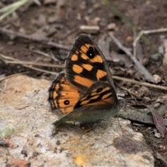 Geitoneura klugii (Klug's Xenica / Marbled Xenica) at Cotter River, ACT - 10 Jan 2021 by HarveyPerkins
