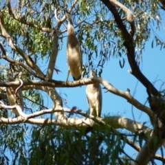 Egretta novaehollandiae (White-faced Heron) at Percival Hill - 6 Jan 2021 by bigears