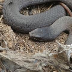 Drysdalia coronoides at Bimberi Nature Reserve - 10 Jan 2021