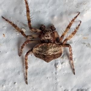 Dolophones sp. (genus) at Hughes, ACT - 9 Jan 2021