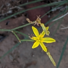 Tricoryne elatior (Yellow Rush Lily) at Deakin, ACT - 9 Jan 2021 by JackyF