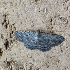 Psilosticha mactaria (Large Waved Bark Moth) at Murrumbateman, NSW - 10 Jan 2021 by SimoneC