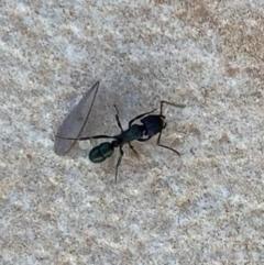 Rhytidoponera metallica (Greenhead ant) at Murrumbateman, NSW - 10 Jan 2021 by SimoneC