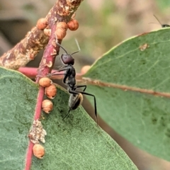 Camponotus suffusus (Golden-tailed sugar ant) at Red Hill Nature Reserve - 7 Jan 2021 by JackyF