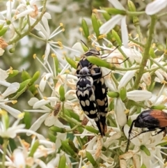 Hoshihananomia leucosticta (Pintail or Tumbling flower beetle) at Red Hill Nature Reserve - 7 Jan 2021 by JackyF
