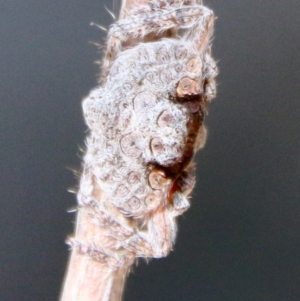 Unidentified Terrestrial invertebrate (TBC) at suppressed by LisaH